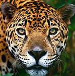 maillot guyane jaguar